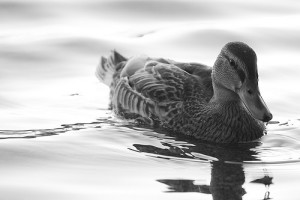 I Like Ducks